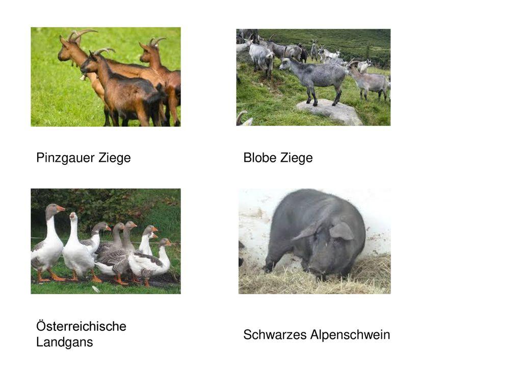Pinzgauer Ziege Blobe Ziege Österreichische Landgans Schwarzes Alpenschwein