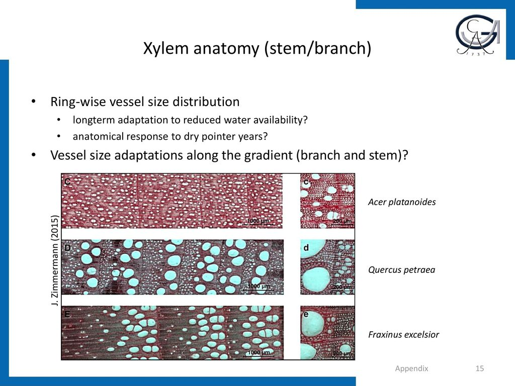Xylem anatomy (stem/branch)