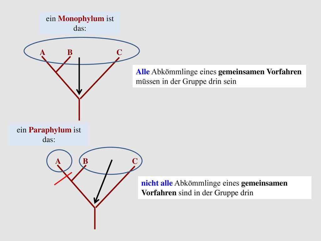 ein Monophylum ist das: