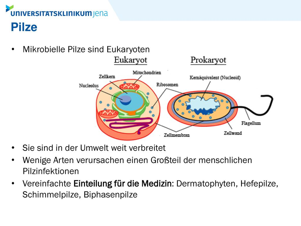 Pilze Mikrobielle Pilze sind Eukaryoten
