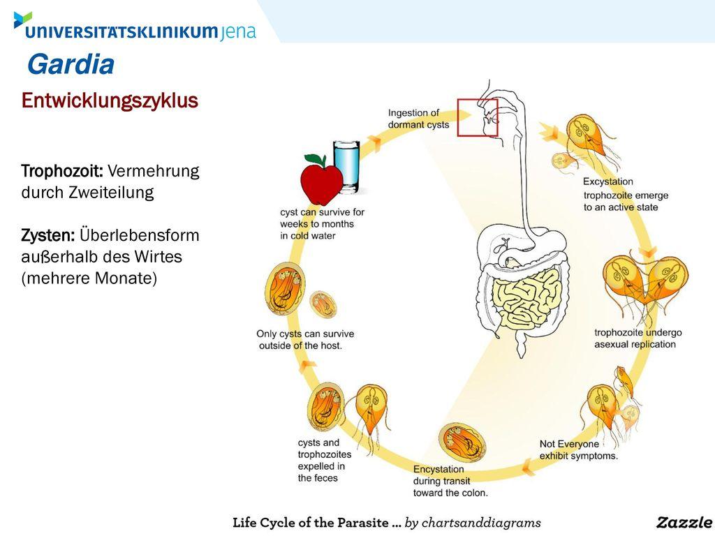 Gardia Entwicklungszyklus Trophozoit: Vermehrung durch Zweiteilung