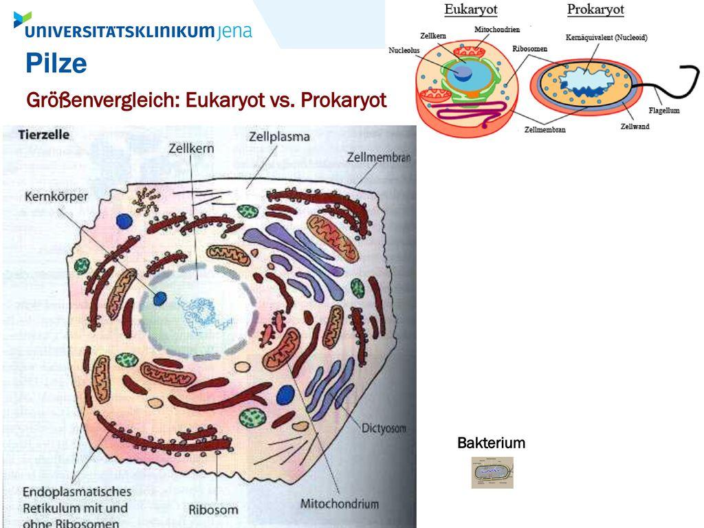 Pilze Größenvergleich: Eukaryot vs. Prokaryot Bakterium