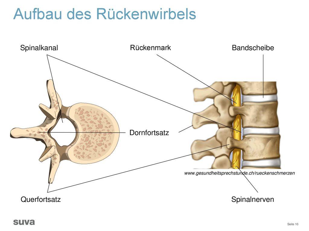 Schön Spinalnerv Anatomie Diagramm Ideen - Anatomie Ideen - finotti.info