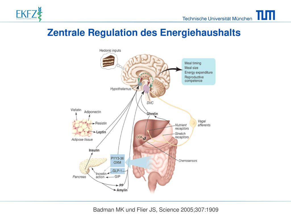 Zentrale Regulation des Energiehaushalts