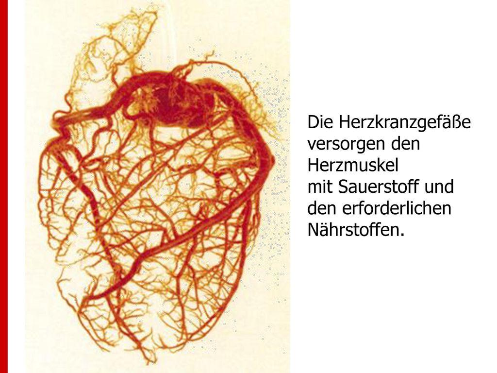 Die Herzkranzgefäße versorgen den Herzmuskel mit Sauerstoff und den erforderlichen Nährstoffen.
