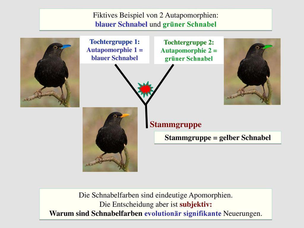 Stammgruppe Fiktives Beispiel von 2 Autapomorphien: