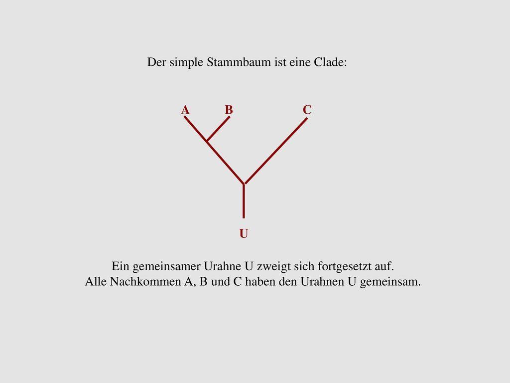 Der simple Stammbaum ist eine Clade: