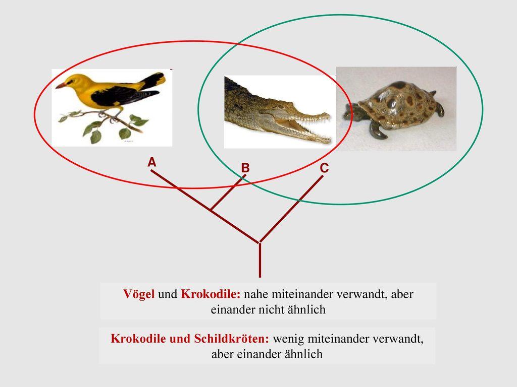 A B. C. Vögel und Krokodile: nahe miteinander verwandt, aber einander nicht ähnlich.