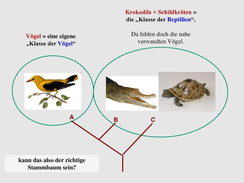 "Krokodile + Schildkröten = die ""Klasse der Reptilien ."