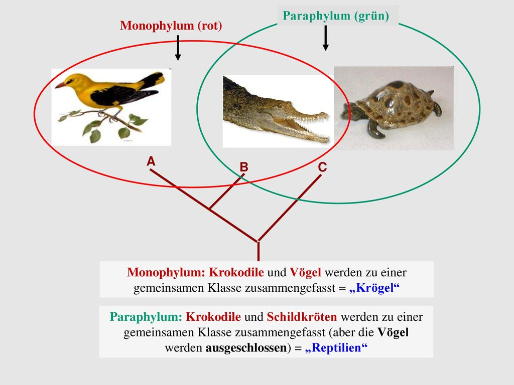 Paraphylum (grün) Monophylum (rot) A B C