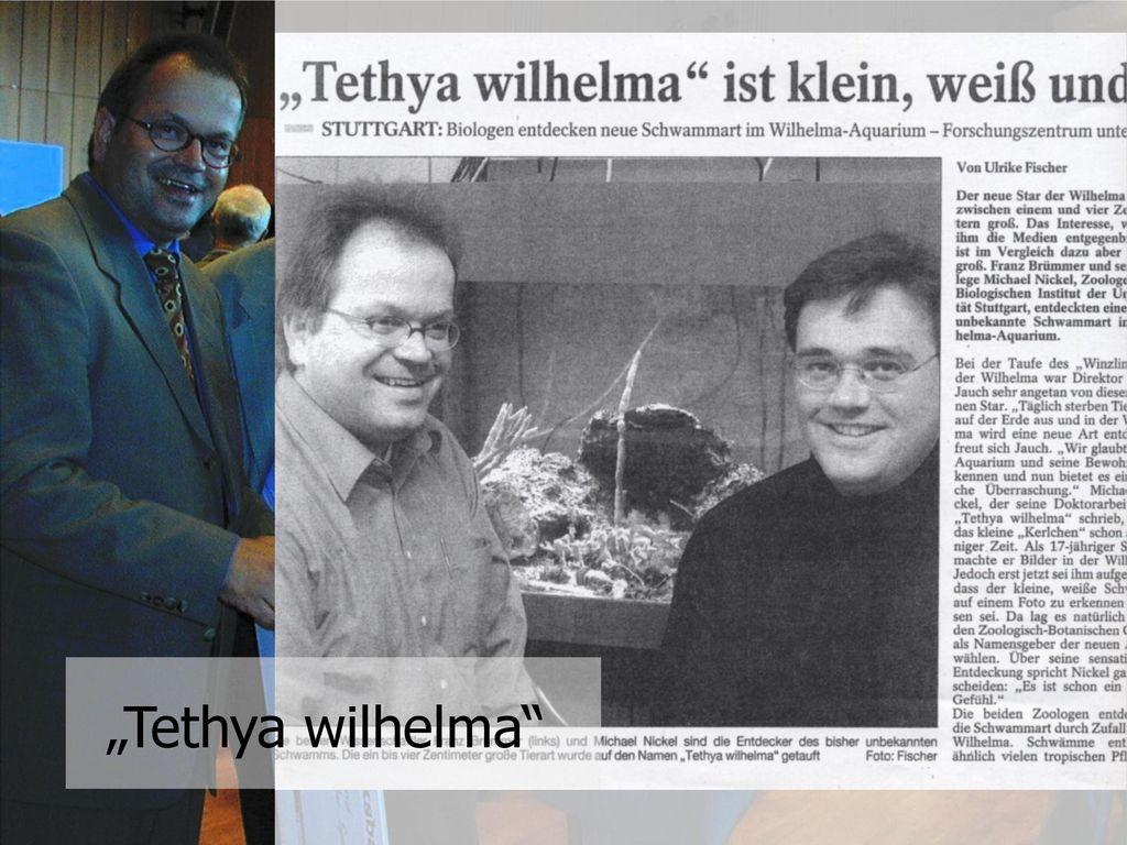 """""""Tethya wilhelma"""