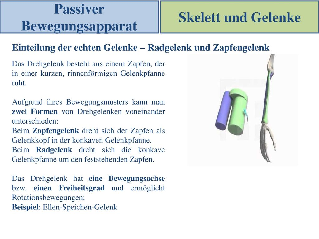 Niedlich Gelenkpfanne Anatomie Zeitgenössisch - Physiologie Von ...