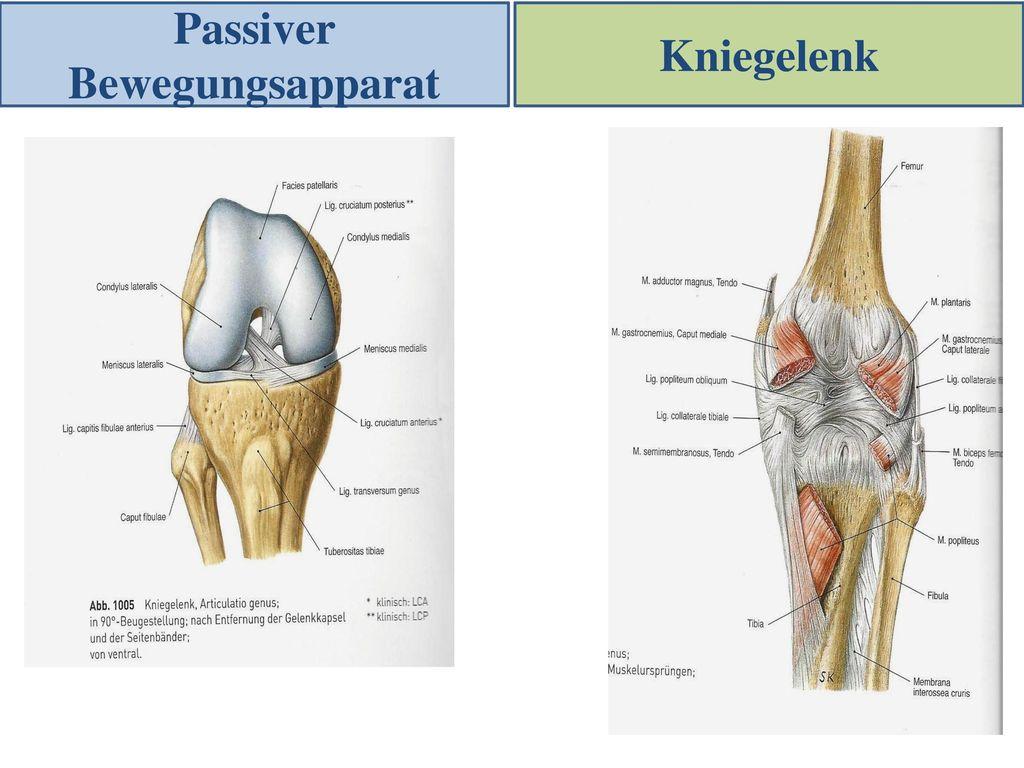 Charmant Anatomie Des Kniegelenks Ppt Galerie - Anatomie Ideen ...