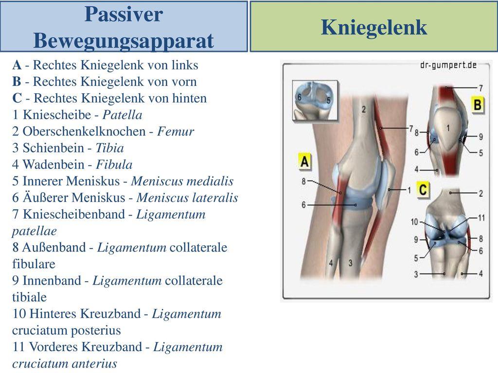 Ziemlich Kreuzband Anatomie Ideen - Menschliche Anatomie Bilder ...