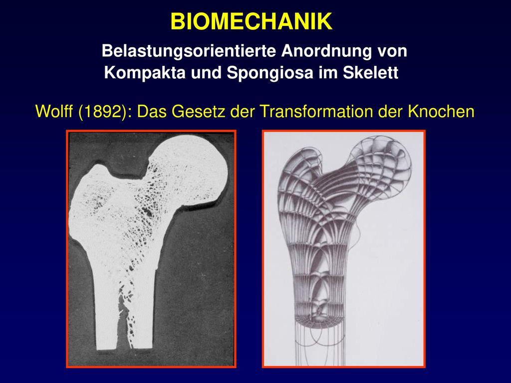 BIOMECHANIK Belastungsorientierte Anordnung von Kompakta und Spongiosa im Skelett