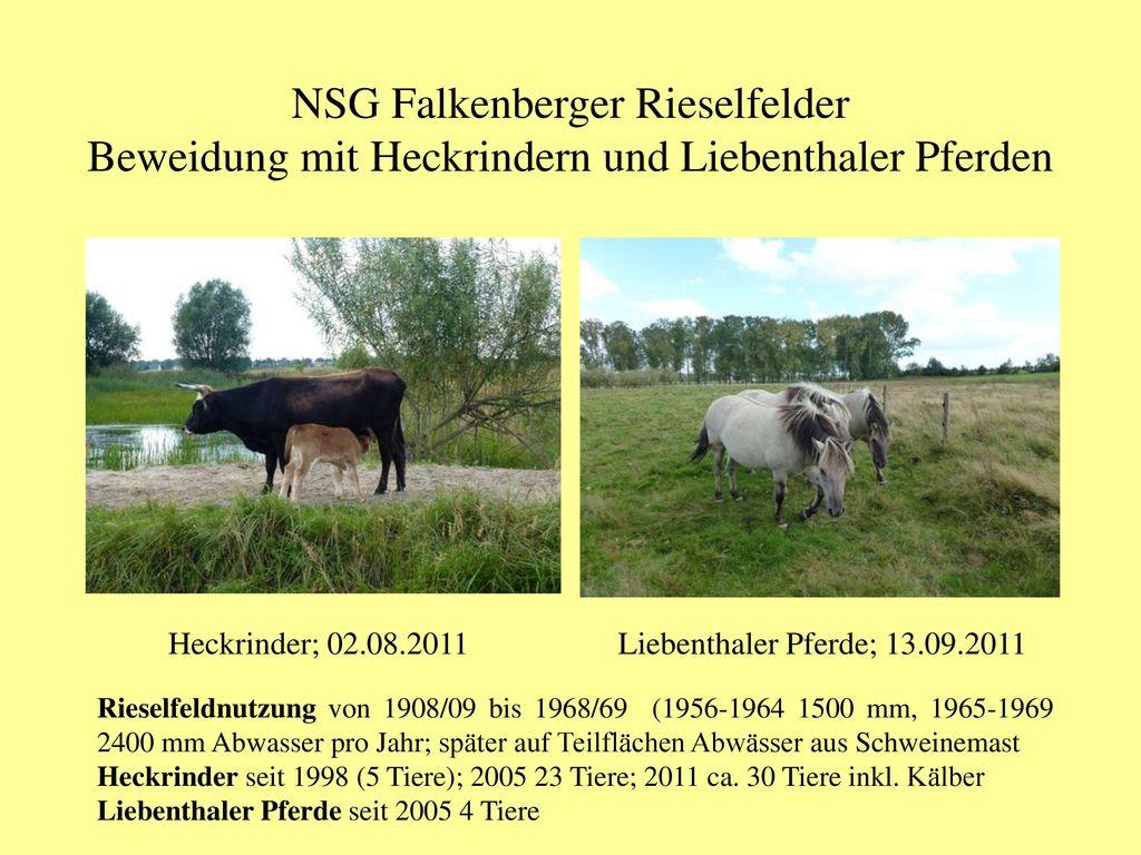 NSG Falkenberger Rieselfelder Beweidung mit Heckrindern und Liebenthaler Pferden
