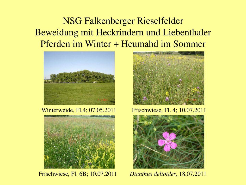 NSG Falkenberger Rieselfelder Beweidung mit Heckrindern und Liebenthaler Pferden im Winter + Heumahd im Sommer