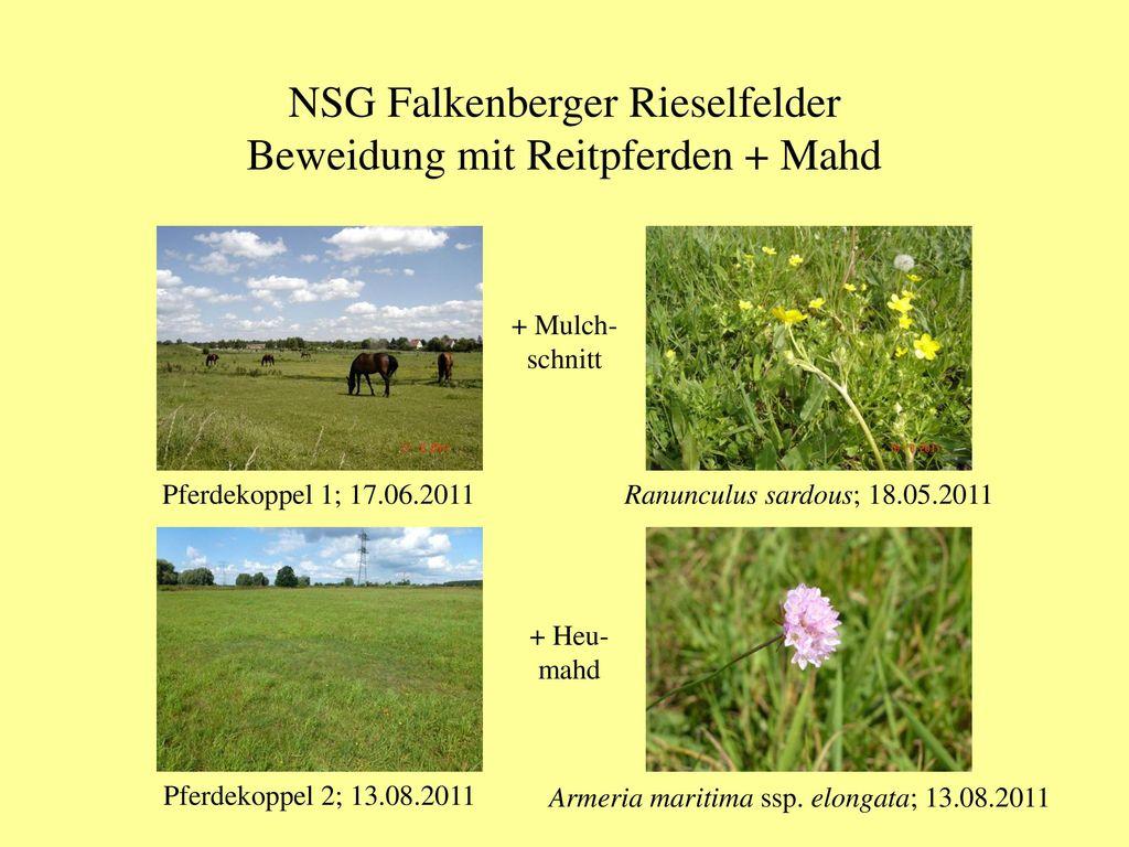 NSG Falkenberger Rieselfelder Beweidung mit Reitpferden + Mahd