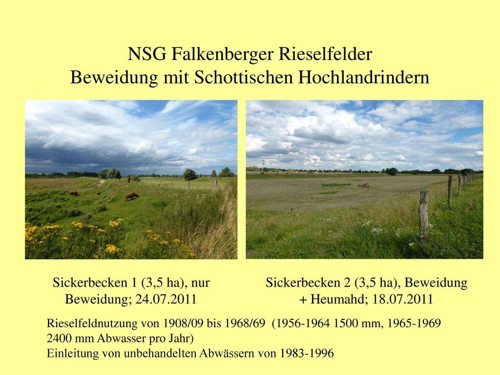 NSG Falkenberger Rieselfelder Beweidung mit Schottischen Hochlandrindern