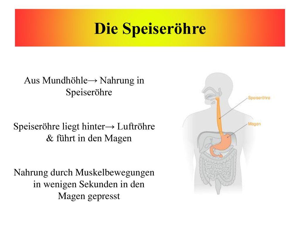 Die Speiseröhre Aus Mundhöhle→ Nahrung in Speiseröhre