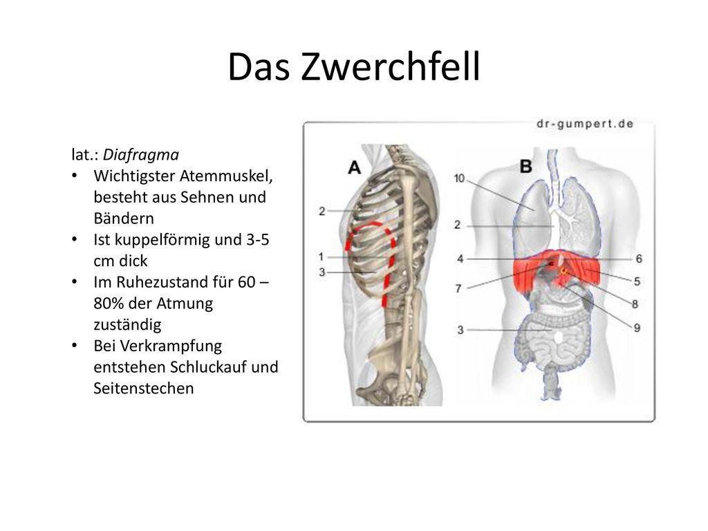 Das Zwerchfell lat.: Diafragma