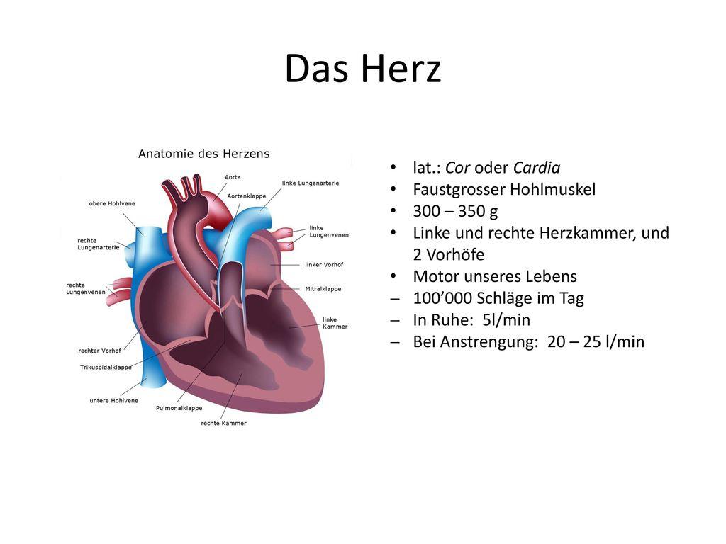 Das Herz lat.: Cor oder Cardia Faustgrosser Hohlmuskel 300 – 350 g