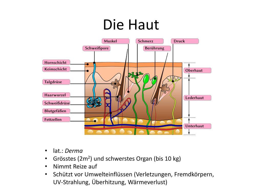 Die Haut lat.: Derma Grösstes (2m2) und schwerstes Organ (bis 10 kg)
