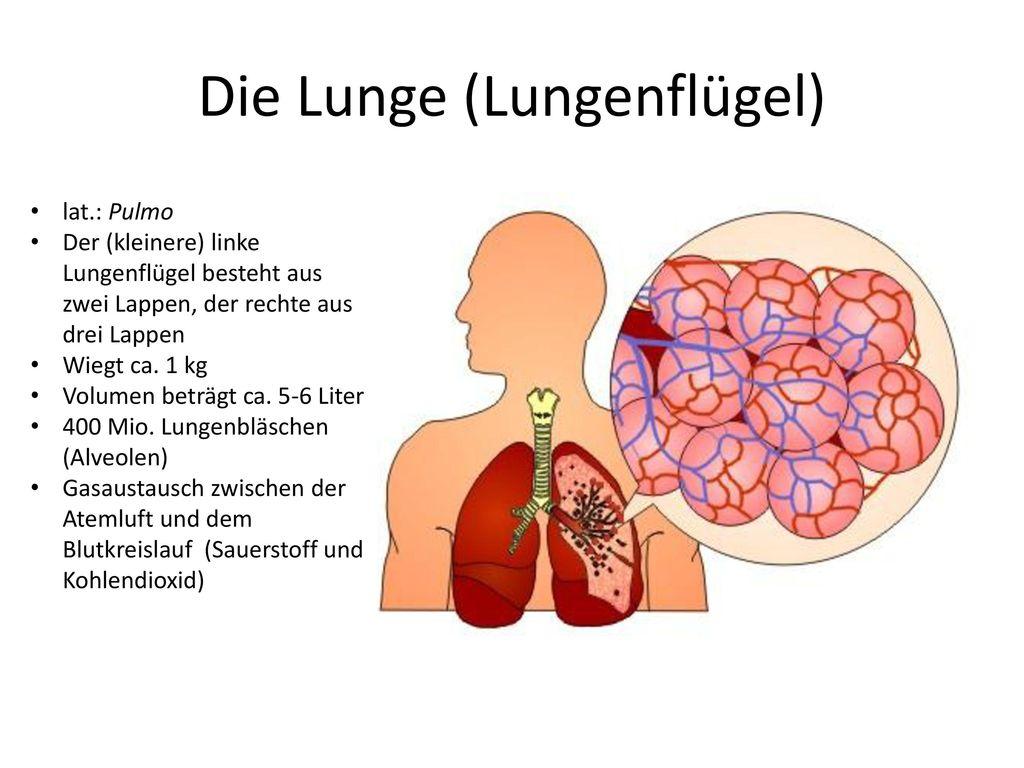 Die Lunge (Lungenflügel)