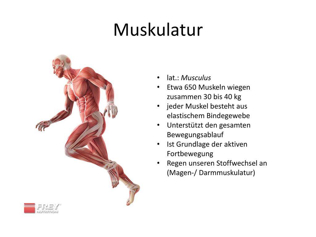 Muskulatur lat.: Musculus