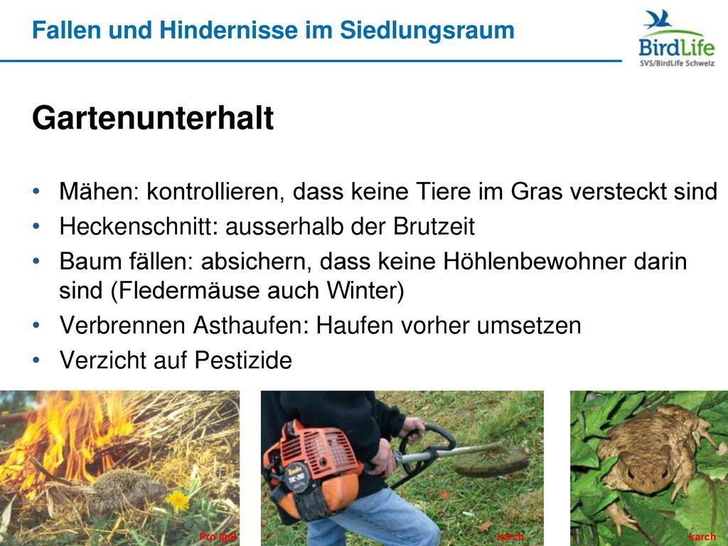 Gartenunterhalt Mähen: kontrollieren, dass keine Tiere im Gras versteckt sind. Heckenschnitt: ausserhalb der Brutzeit.