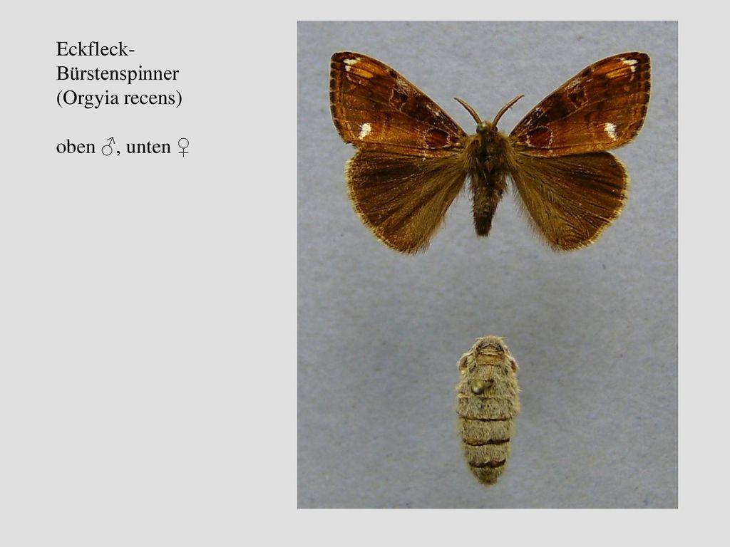 Eckfleck-Bürstenspinner (Orgyia recens)