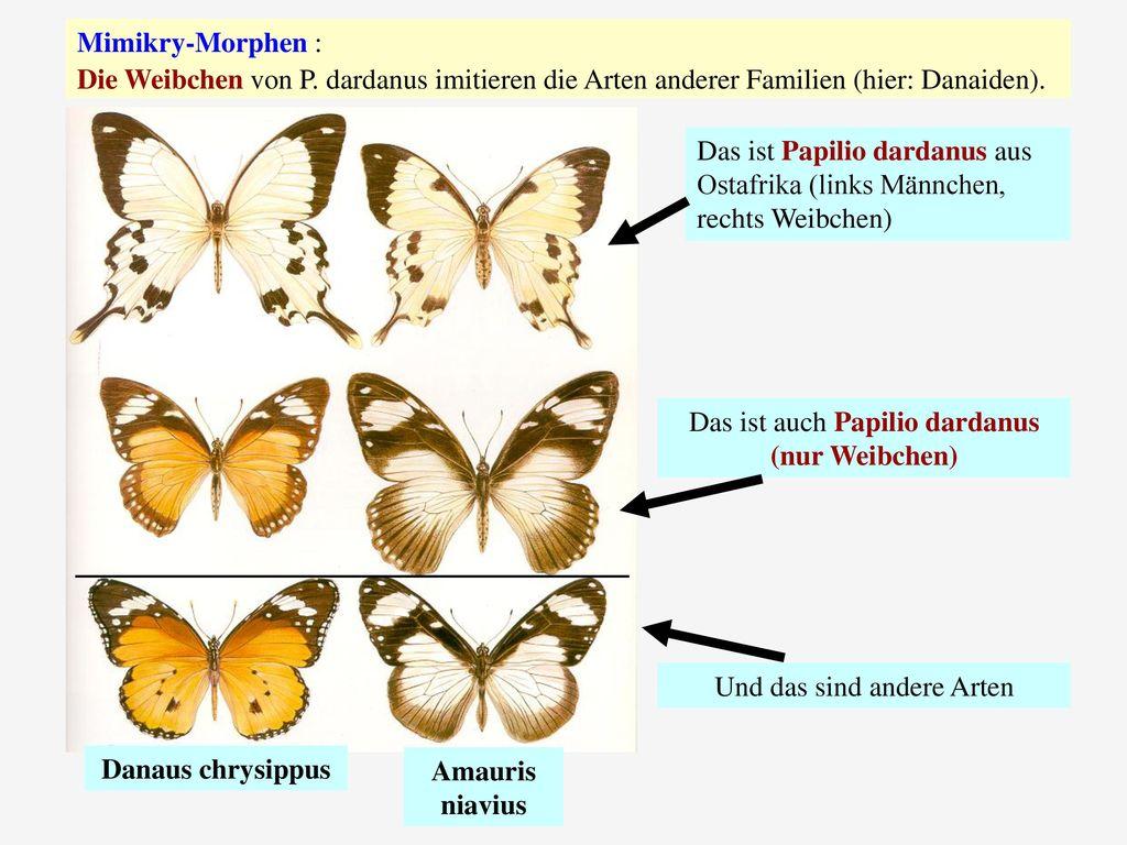 Danaus chrysippus Amauris niavius