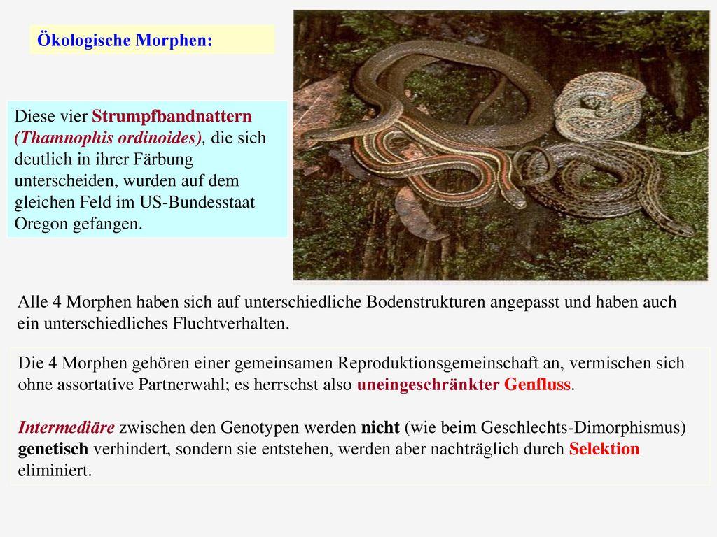 Ökologische Morphen: