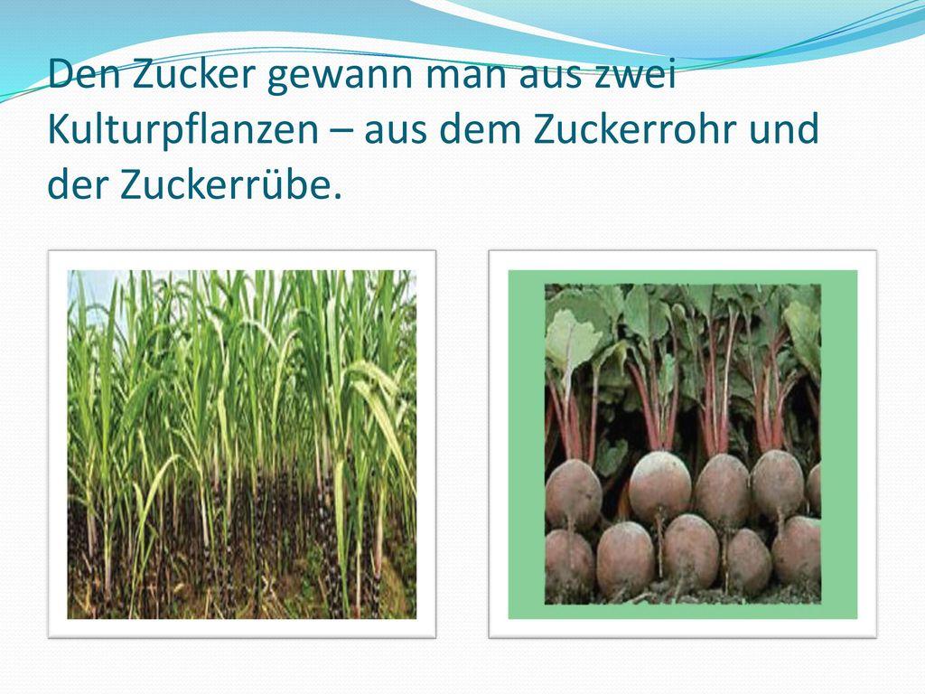 Den Zucker gewann man aus zwei Kulturpflanzen – aus dem Zuckerrohr und der Zuckerrübe.