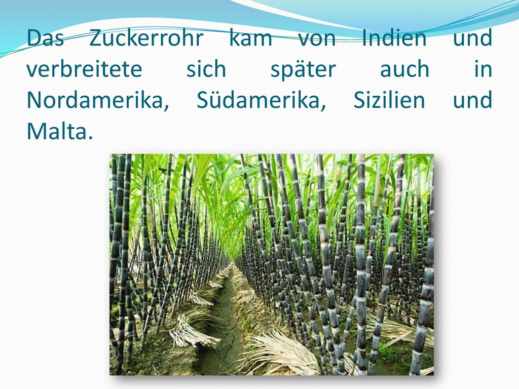 Das Zuckerrohr kam von Indien und verbreitete sich später auch in Nordamerika, Südamerika, Sizilien und Malta.