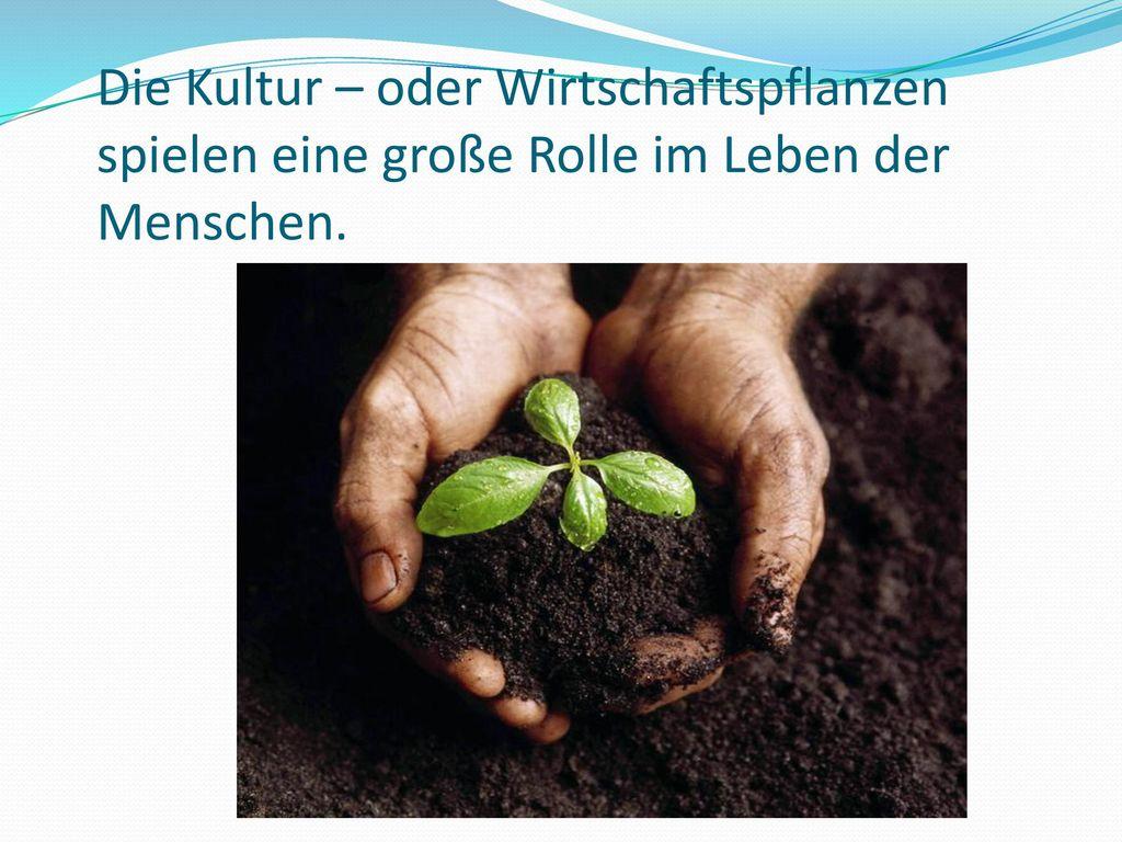Die Kultur – oder Wirtschaftspflanzen spielen eine große Rolle im Leben der Menschen.