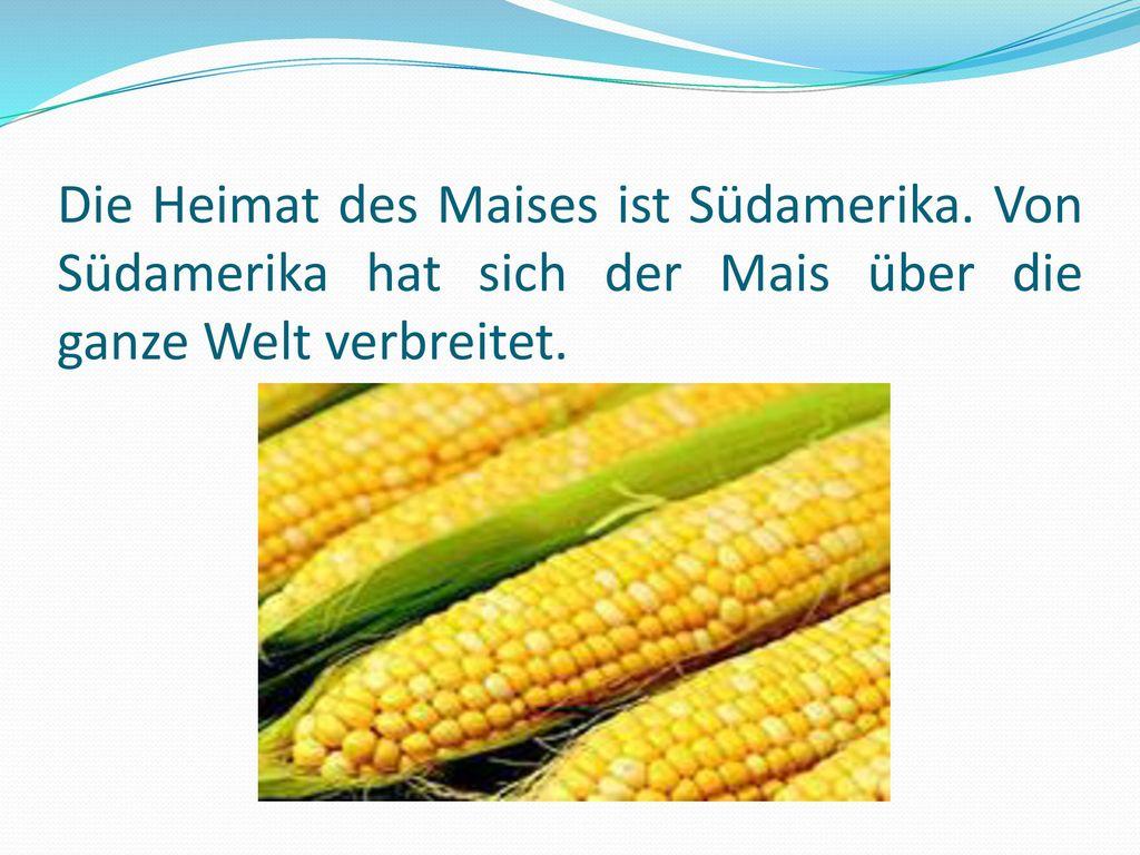 Die Heimat des Maises ist Südamerika