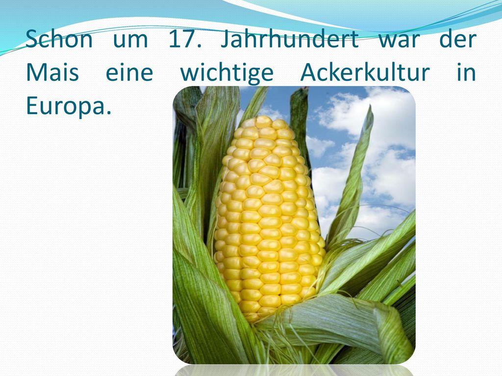 Schon um 17. Jahrhundert war der Mais eine wichtige Ackerkultur in Europa.