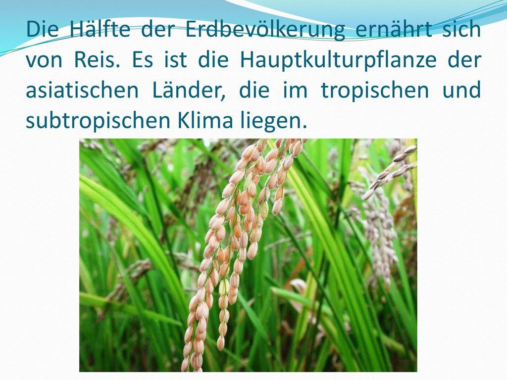 Die Hälfte der Erdbevölkerung ernährt sich von Reis