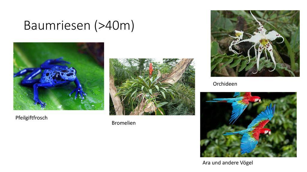 Baumriesen (>40m) Orchideen Pfeilgiftfrosch Bromelien