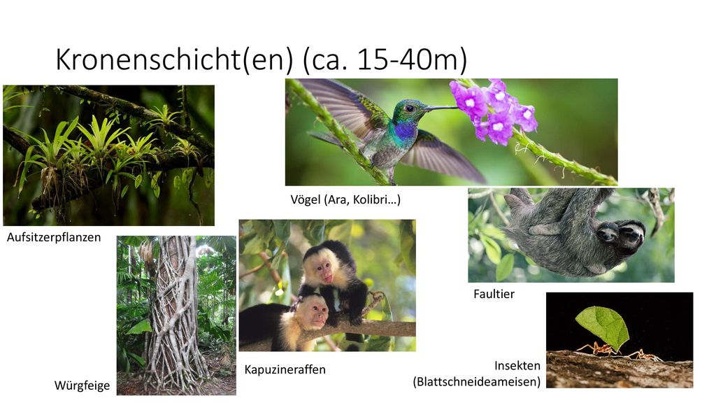 Kronenschicht(en) (ca. 15-40m)