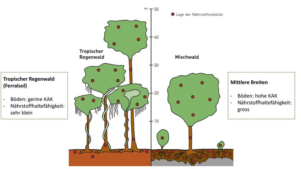 Tropischer Regenwald (Ferralsol)