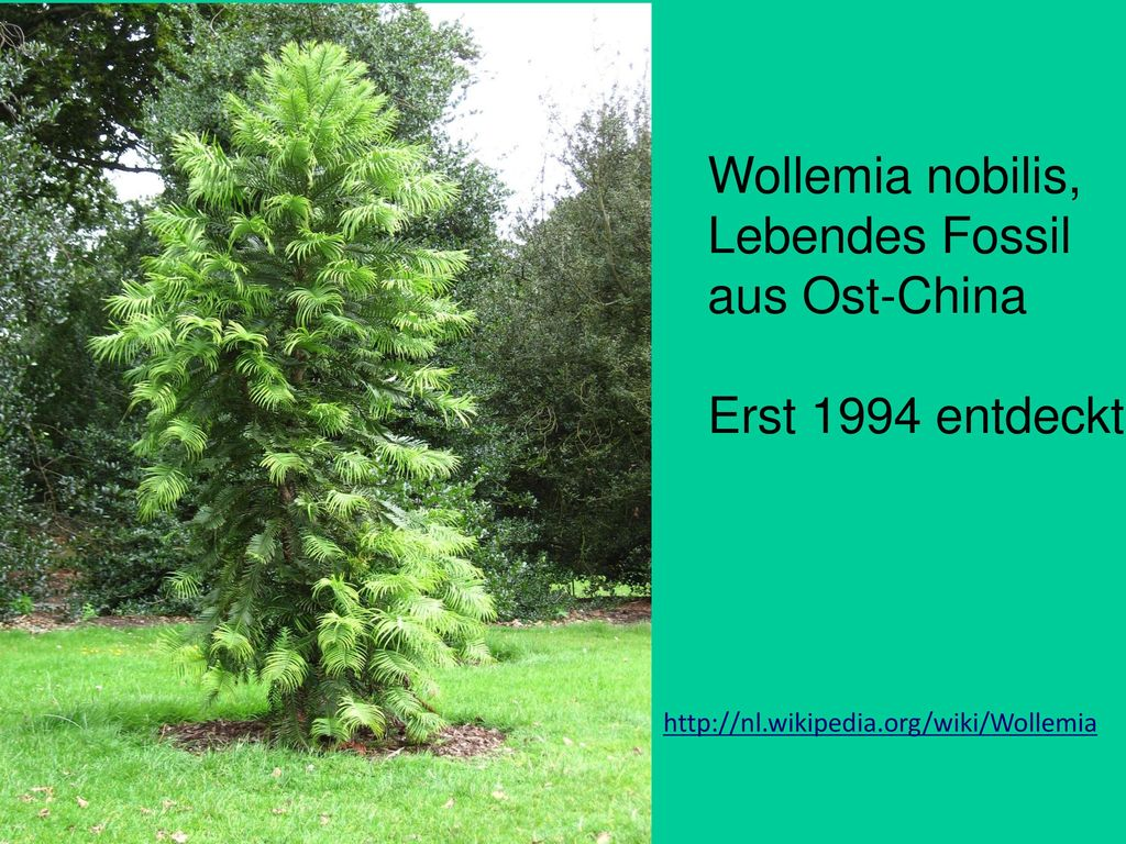 Wollemia nobilis, Lebendes Fossil aus Ost-China Erst 1994 entdeckt