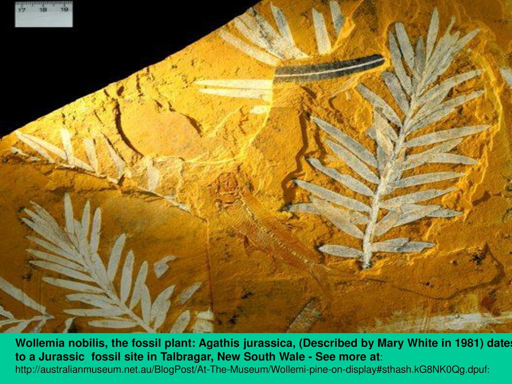 Wollemia nobilis, the fossil plant: Agathis jurassica, (Described by Mary White in 1981) dates to a Jurassic fossil site in Talbragar, New South Wale - See more at: