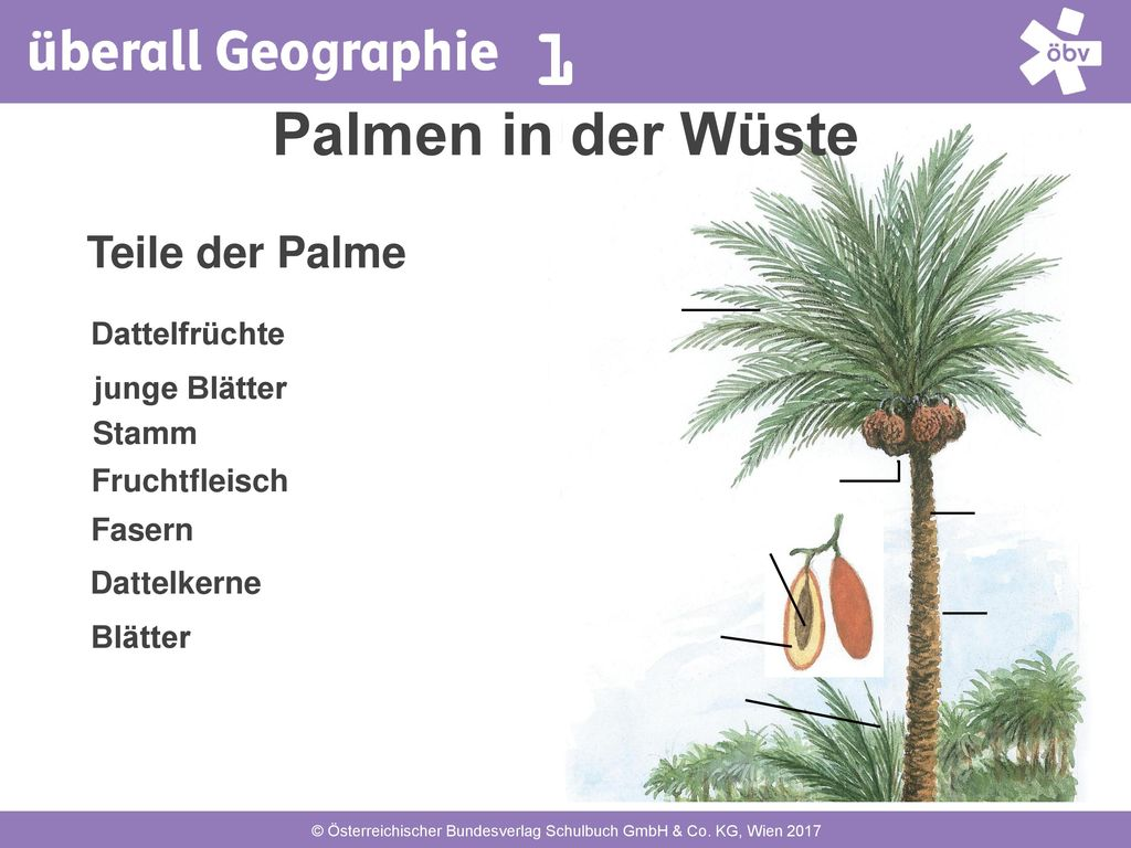 Palmen in der Wüste Teile der Palme Dattelfrüchte junge Blätter Stamm