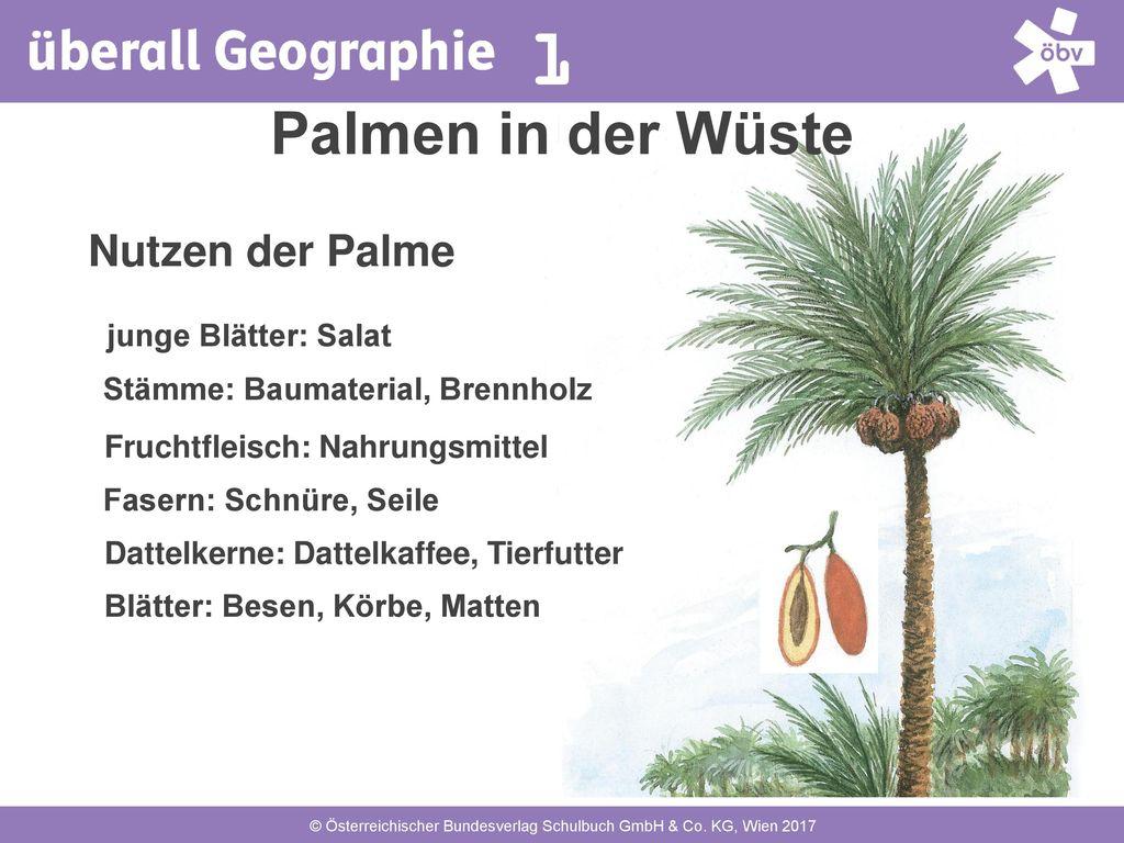 Palmen in der Wüste Nutzen der Palme junge Blätter: Salat
