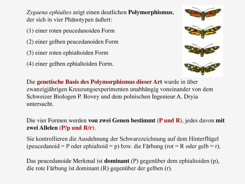 Zygaena ephialtes zeigt einen deutlichen Polymorphismus, der sich in vier Phänotypen äußert: