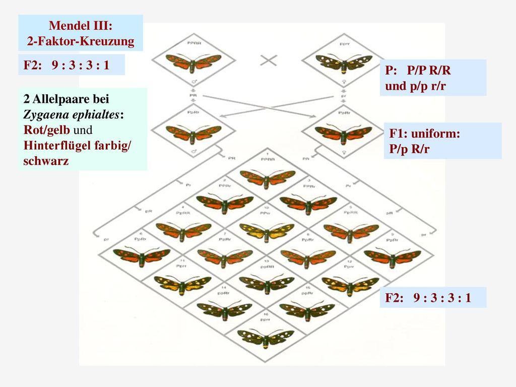 Mendel III: 2-Faktor-Kreuzung. F2: 9 : 3 : 3 : 1. P: P/P R/R. und p/p r/r. 2 Allelpaare bei.
