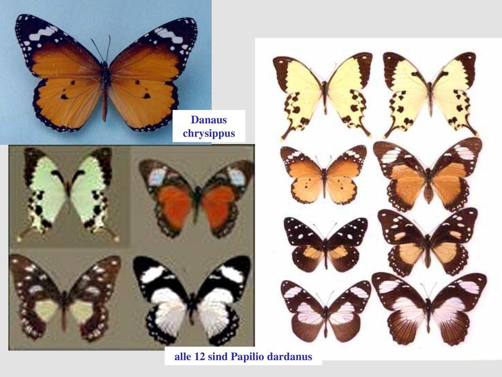 alle 12 sind Papilio dardanus
