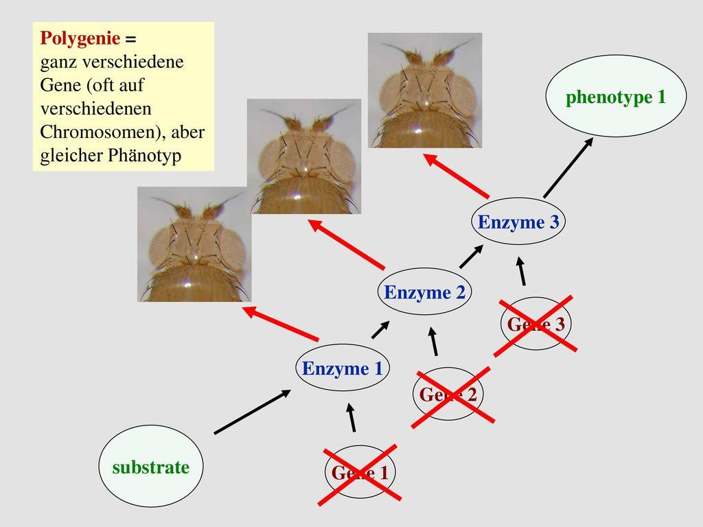 Polygenie = ganz verschiedene Gene (oft auf verschiedenen Chromosomen), aber gleicher Phänotyp. phenotype 1.